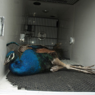 peacock peafowl injured