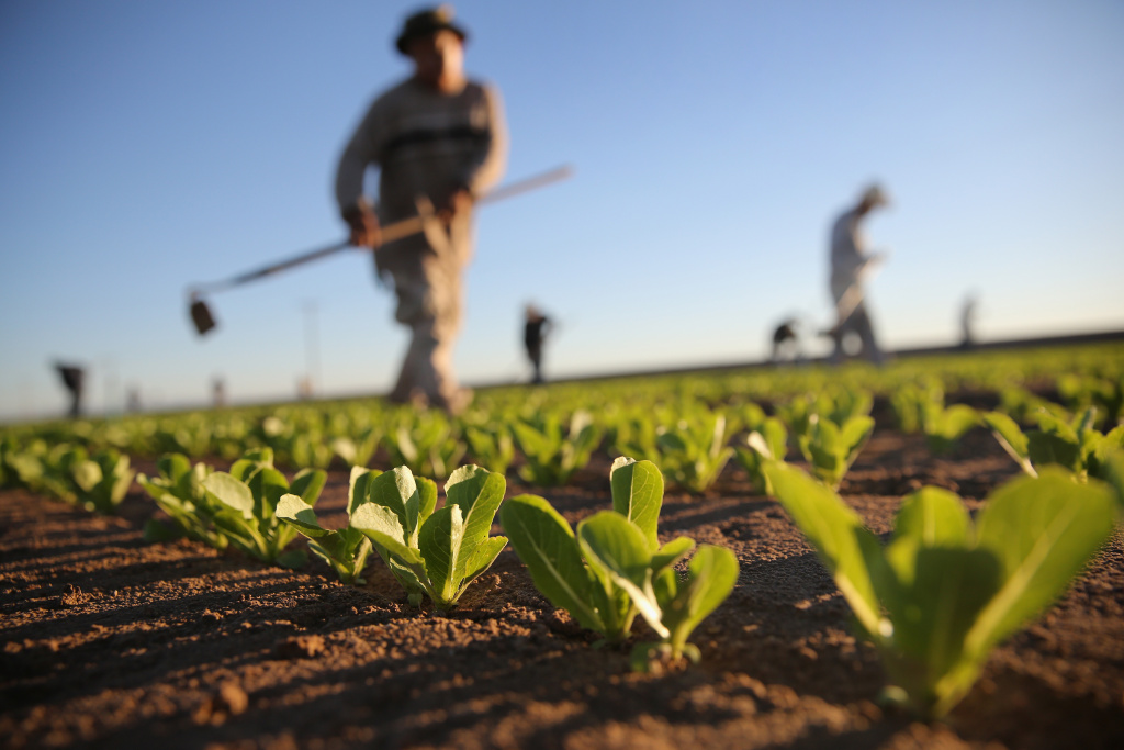 HOLTVILLE, CA - OCTOBER 08:  Mexican agricultural workers cultivate romaine lettuce on a farm on October 8, 2013 in Holtville, California. (Photo by John Moore/Getty Images)