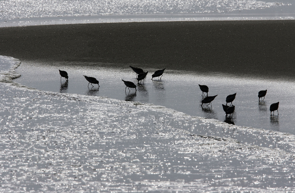 MALIBU, CA - APRIL 18:  Snowy plovers hunt for food along Carbon Beach, a public beach that was gotten to through a recently opened public accessway next to music producer David Geffen's beach house, on April 18, 2005 in Malibu, California. The gate was found re-locked later that afternoon. By opening the gate, Geffen would be fulfilling a 22-year-old legal promise to open a public pathway across his property in exchange for permits from the Coastal Commission to begin building his Cape Cod-style compound across multiple lots on Carbon Beach. In giving up the gate key, the music mogul also stops daily fines of $1,000 a day from accumulating.  (Photo by David McNew/Getty Images)
