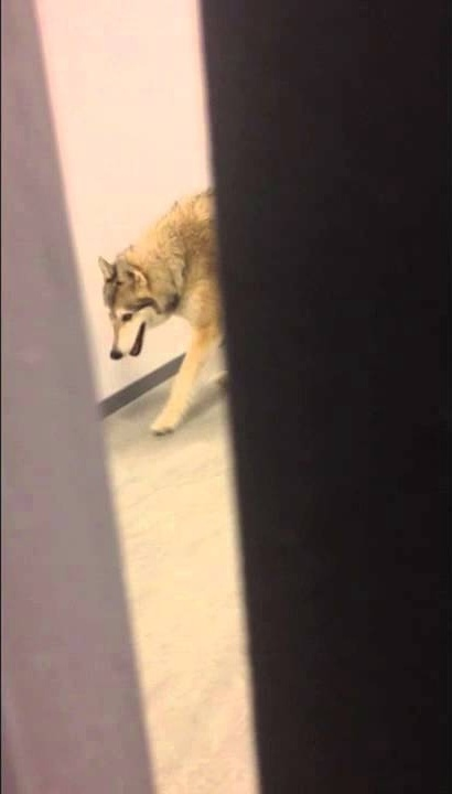 Video posted on Kate Hansen's YouTube page that allegedly shows a wolf but was actually part of a prank by Jimmy Kimmel.