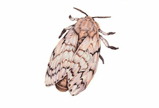 Adult gypsy moth.