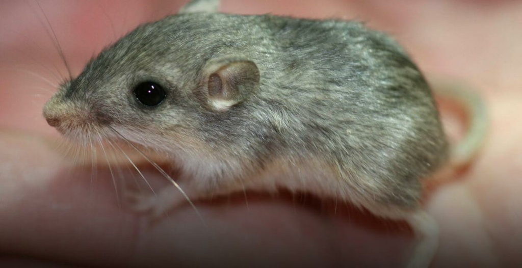 The Pacific Pocket Mouse