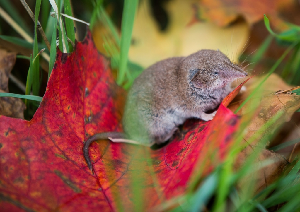 A shrew mouse sits on an autumnally colored leaf on October 6, 2015 in Rossdorf near Darmstadt, western Germany.