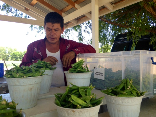 Salvador Corona Chavez sells sweet peas at a roadside stand in Española, New Mexico.