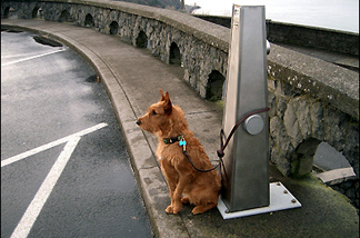 Off-Ramp commentator Danu's Bright-Eyed Cara Colleen (named for her mother and for Karl T. Rabe's champion Irish terrier), guarding the Columbia River Gorge.