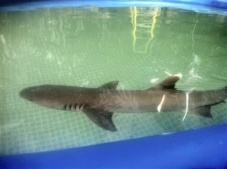 A white-tipped shark died on March 6, 2013, after a Kmart commercial shoot in a Van Nuys backyard pool. PETA said it received this photo of the shark from a whistleblower on the set.