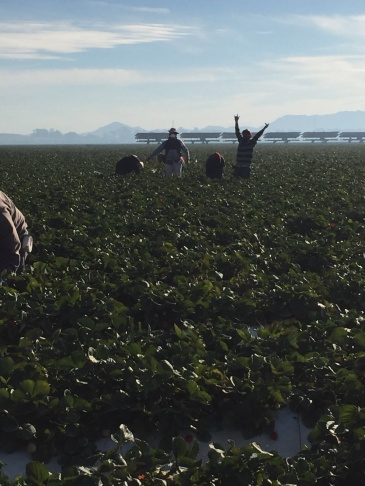 Farm worker Amadeo Sumano takes a photo of himself in Oxnard strawberry fields. Sumano said he was lucky to get a mask during the Thomas Fire but knows of workers employed by other growers who did not receive them.