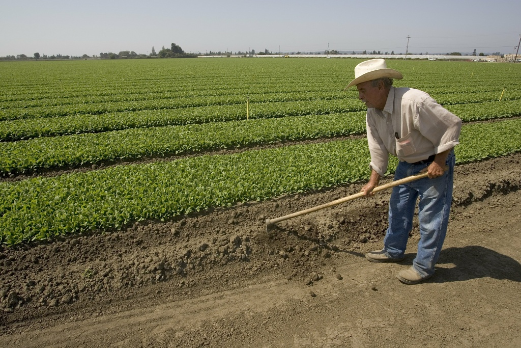 A worker tends to a field of baby spinach on September 23, 2006 in Watsonville, California.