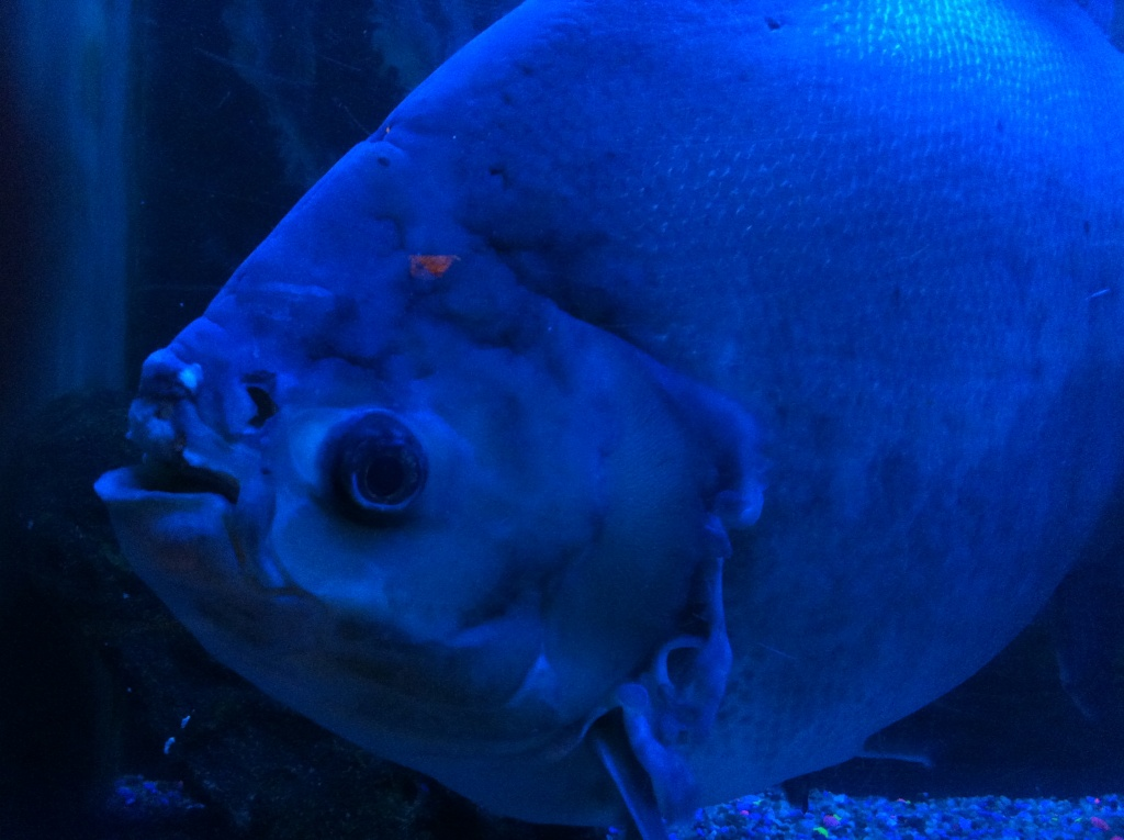 Rufus, the giant Pacu, entertained visitors to Bahooka for more than 35 years, until the restaurant closed in 2013. Damon's in Glendale is exploring adopting Rufus, but it's a big undertaking.