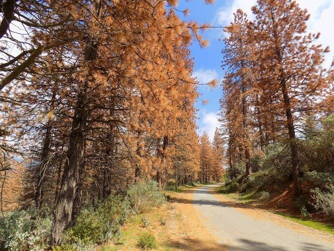 Dead trees along a mountain road on the Sequoia National Forest in May 2016.