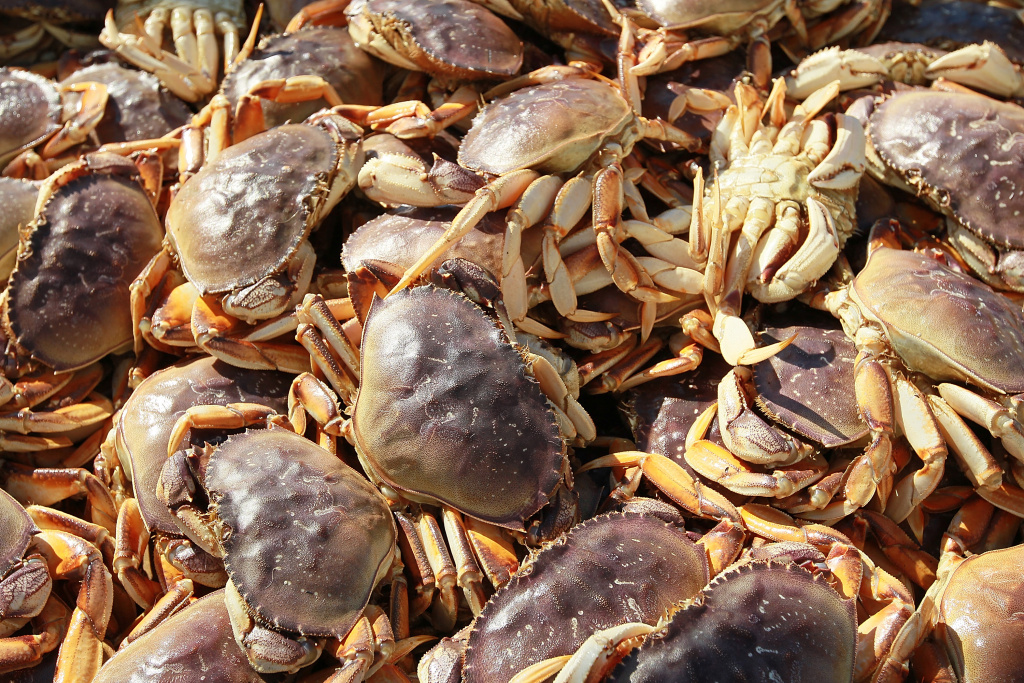 In this file photo, Dungeness crabs sit in a bin after being offloaded from a fishing vessel on November 17, 2010 in San Francisco, California. The Dungeness crabbing seasons were delayed in California, Oregon and Washington last year after testing showed unhealthy levels of domoic acid, a toxin that can cause gastrointestinal illness.