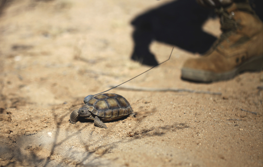 File: In this Sept., 30, 2015, file photo released by the U.S. Marines Corps, a tortoise takes its first steps in the wild after being released at the Natural Resources and Environmental Affairs-hosted ceremony for the first release of tortoises from the Combat Center's Desert Tortoise Headstart Program, near Twentynine Palms.