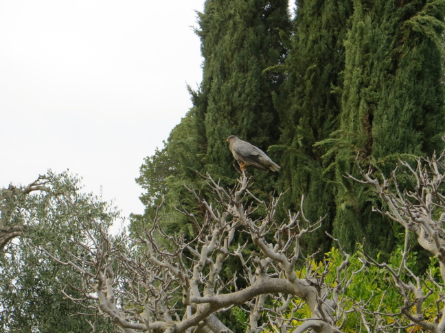 A band-tailed pigeon perches in a tree at Blue Canyon, CA in July 2013.
