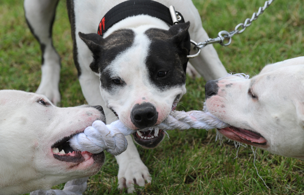 Pitbull dogs play with a rope during the Pitbull show on June 19, 2010 in Prague.