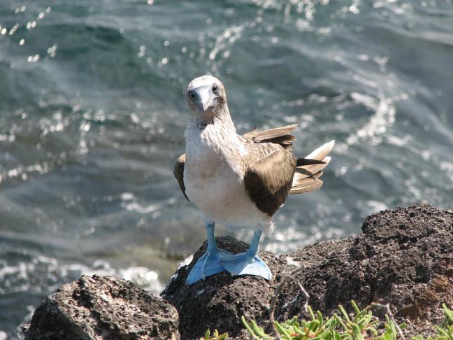 An adult Blue-footed Booby photographed on Santa Cruz, Galapagos in Ecuador.