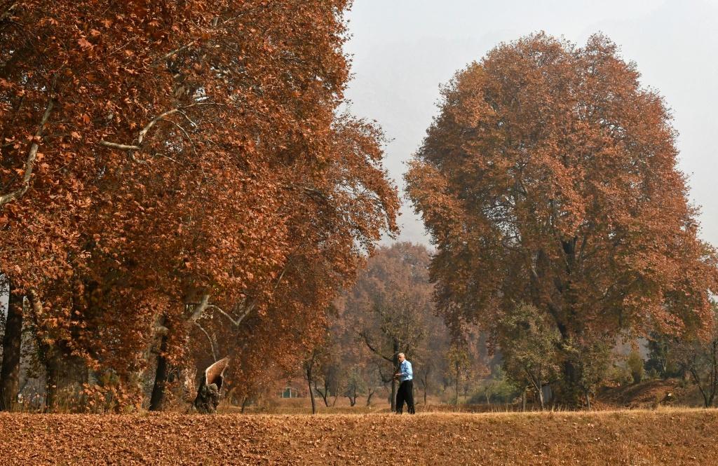 A tourist walks next to trees shedding their autumn leaves in Srinagar, India on November 13, 2017.