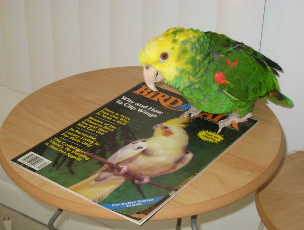 An Amazon Parrot stands atop a vintage issue of Bird Talk.The 39 year old parrot--named Cracker--is owned by Bird Talk columnist Susan Chamberlain.
