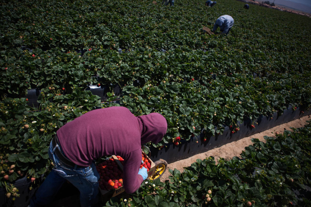 Migrant workers pick strawberries on a hot day in farm fields north of Santa Maria, California.
