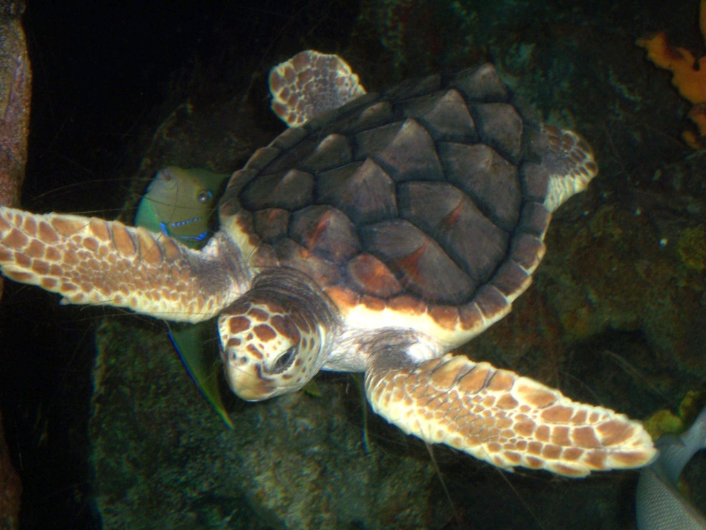Pacific Loggerhead Turtles swimming through about 25,000 square miles of U.S. waters get a break from gill nets for the next five weeks, thanks to a decision by the National Marine Fisheries Service.