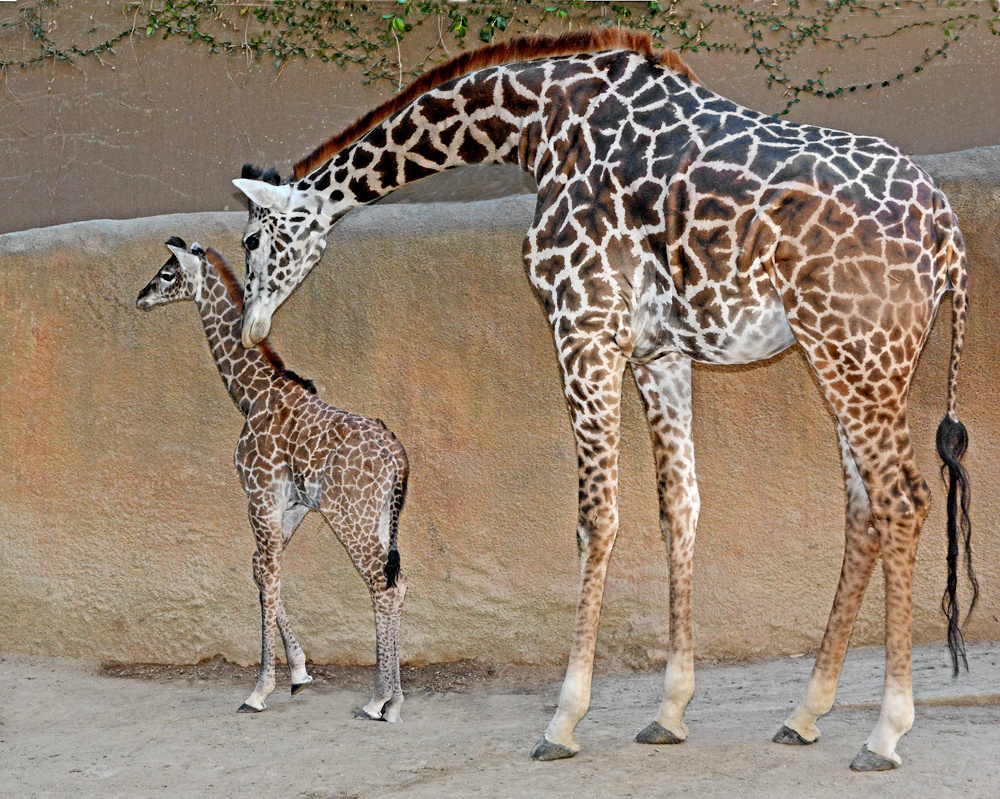 la zoo turns 50 � and delivers a baby giraffe 893 kpcc