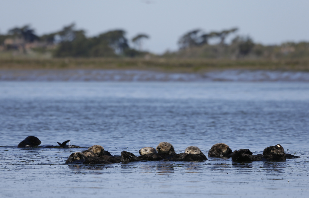 In this photo taken Monday, March 26, 2018, sea otters are seen together along the Elkhorn Slough in Moss Landing, Calif. Along 300 miles of California coastline, including Elkhorn Slough, a wildlife-friendly pocket of tidal salt marsh and rich seagrass in the curve of Monterey Bay, southern sea otters under state and federal protection as a threatened species have rebounded from as few as 50 survivors in the 1930s to more than 3,000 today.