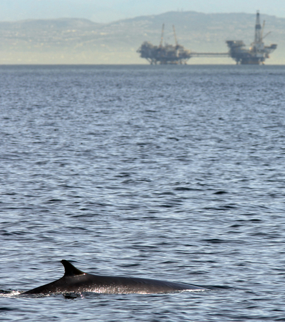 A fin whale surfaces near offshore oil rigs off the southern California coast in Jan. 2012 near Long Beach.