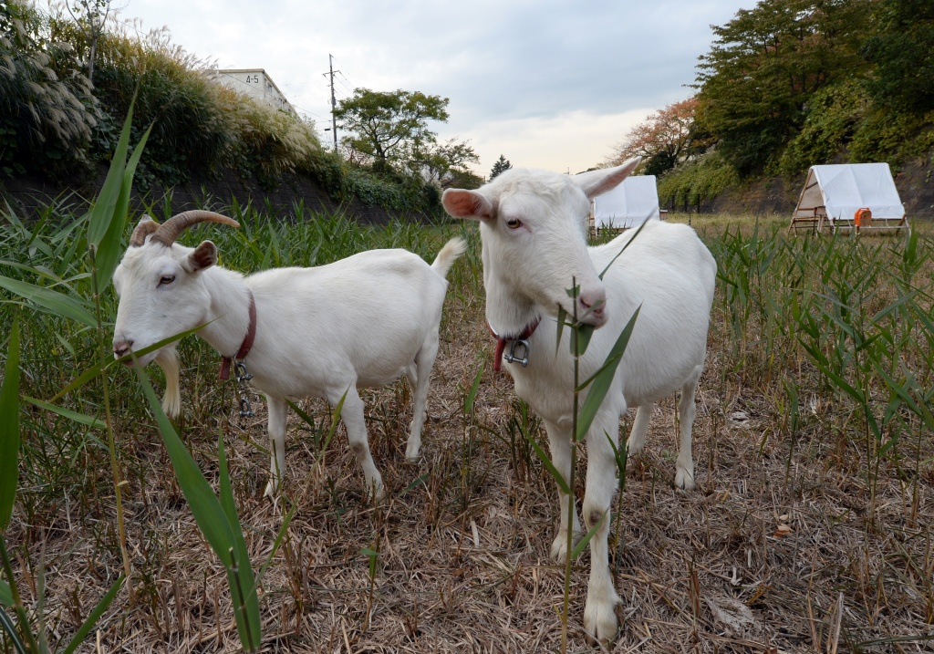 Goats eat weeds at the Urban Renaissance Agency condominium complex in Machida in western Tokyo on November 14, 2013.