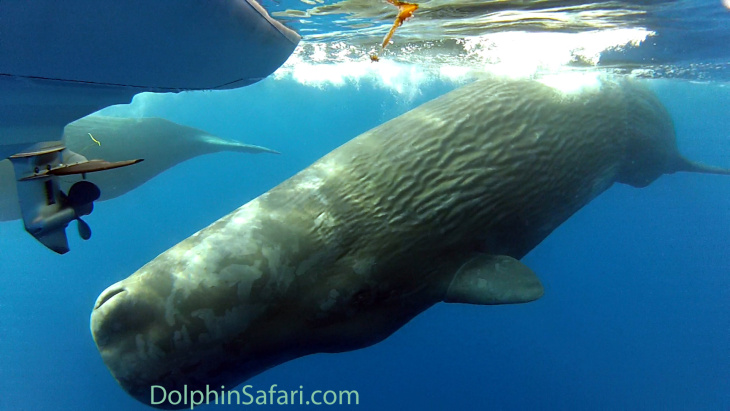 A sperm whale's flukes rises above the water off the coast of Orange County on October 6, 2014.