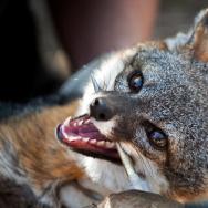 Santa Cruz Island Fox Recovery - 1