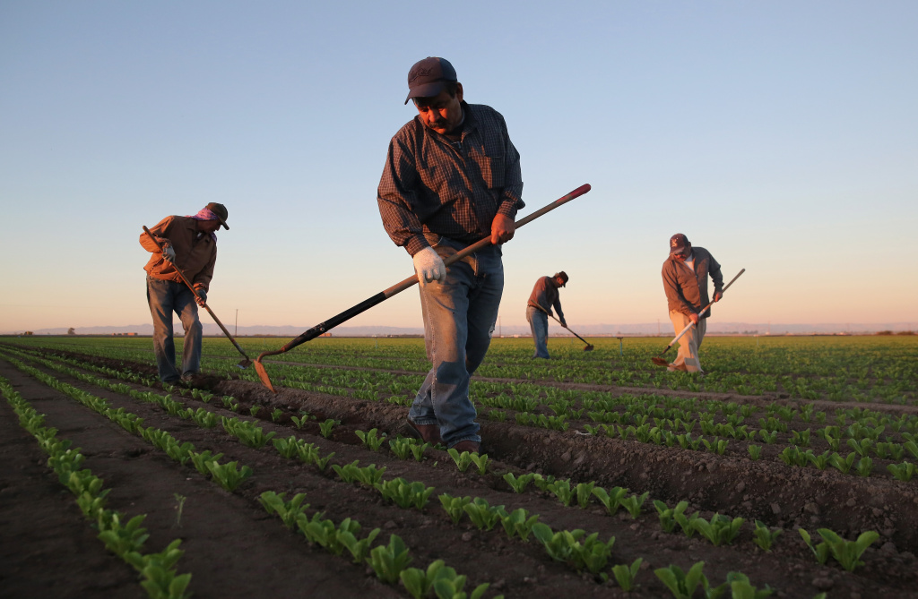 Agricultural workers cultivate romaine lettuce on a farm on October 8, 2013 in Holtville, California.