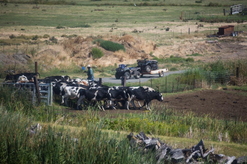 File photo: A farmer herds cows on a farm in the Sacramento San Joaquin River Delta.