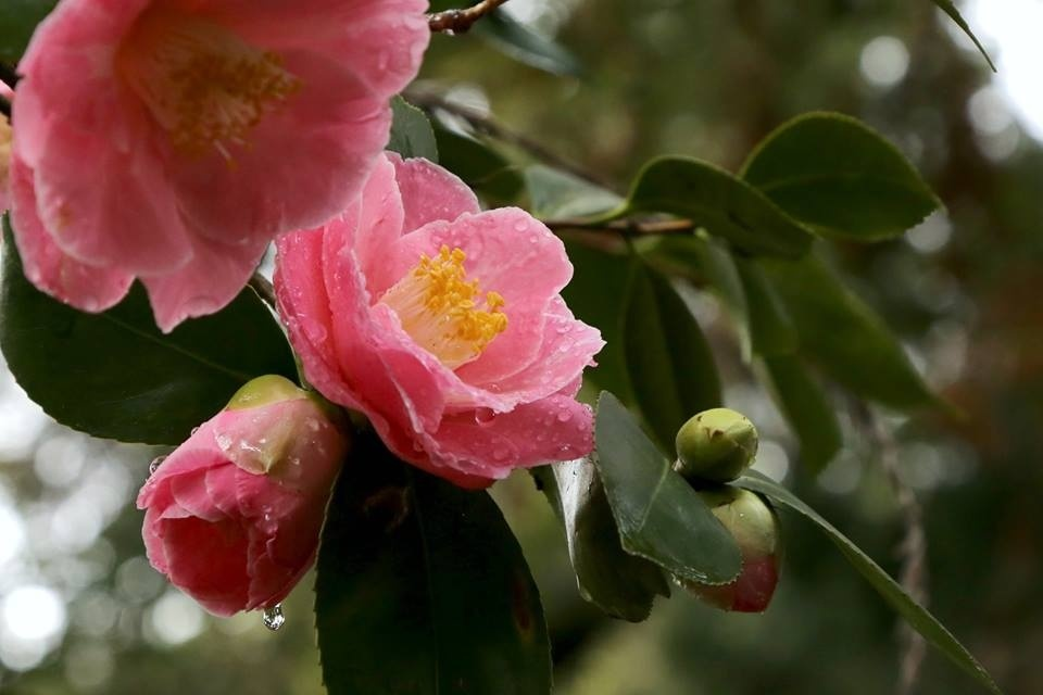 Camellia flowers in bloom at the Descanso Gardens.