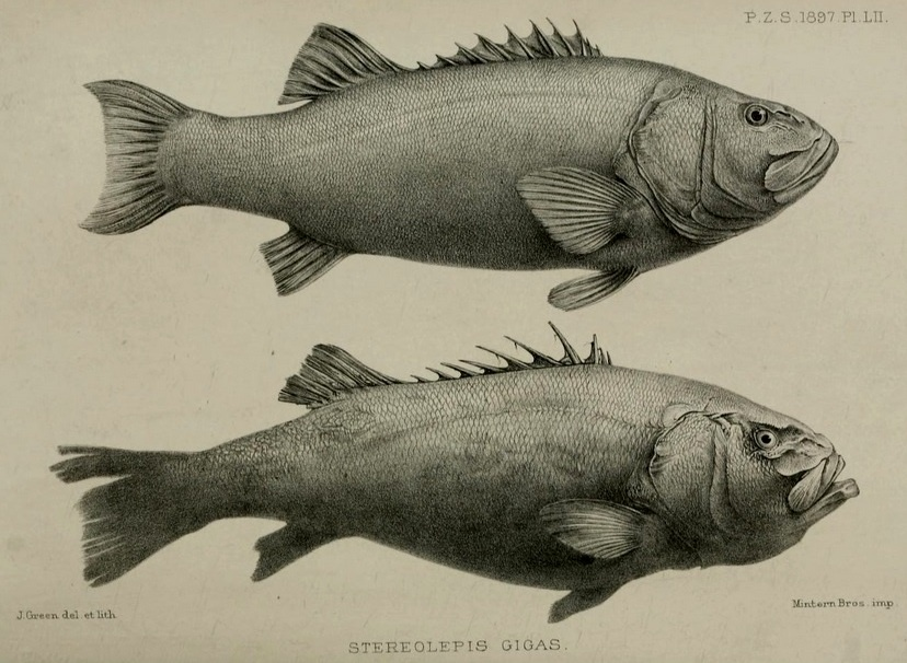 Drawings of the giant sea bass from the Proceedings of the Zoological Society of London, 1897.