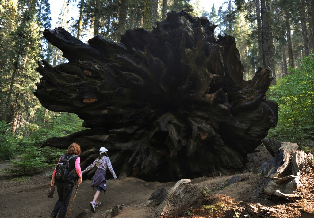 A family looks at the base of a Giant Sequoia tree that lies toppled in the Sequoia National Park in Central California on October 10, 2009. The oldest known Giant Sequoia based on it's ring count is 3,500 years old.