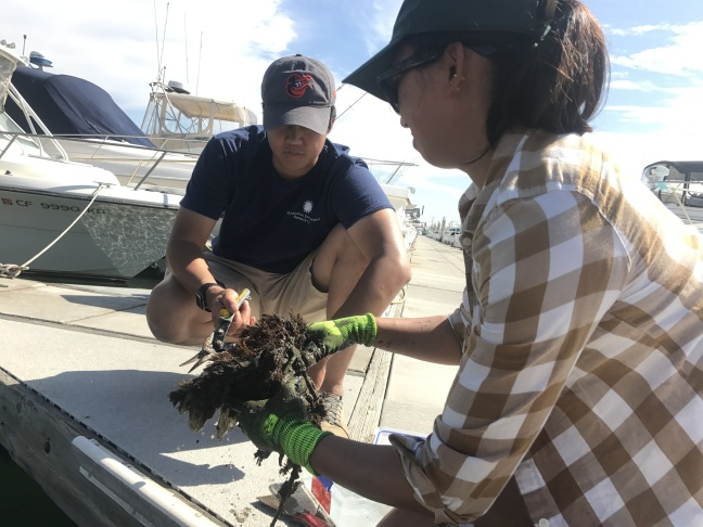 Smithsonian scientists Andy Chang and Elena Hunynh pull up plastic panels covered with marine life from Peter's Landing Marina in Huntington Beach.