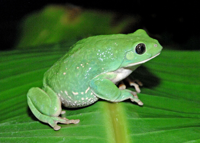 The Mexican leaf frog.