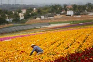 A Hispanic farmworker harvests Ranunculus bulbs at the Flower Fields April 28, 2006 in Carlsbad, California.