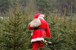 Santa Claus walks through a Christmas Tree forest on December 12, 2010.
