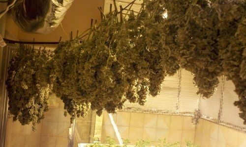 Pot plants grow in the room of an upscale home in Diamond Bar.
