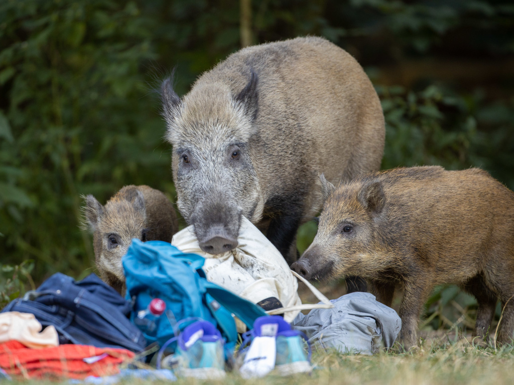 A wild boar and two of its young roam around Teufelssee, or Devil's Lake, in August.