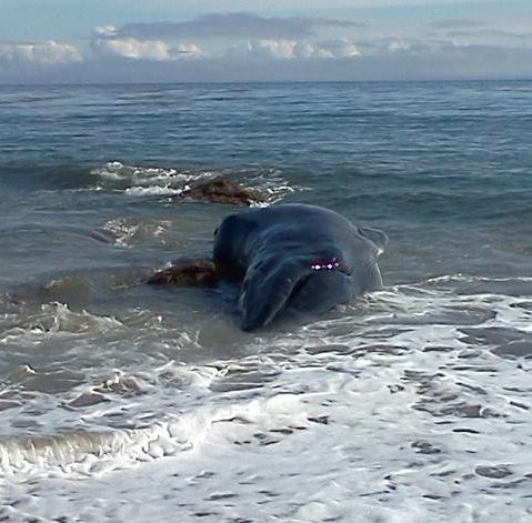 The carcass of a whale that washed up at a Malibu beach Dec. 3.