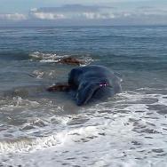 Malibu Whale