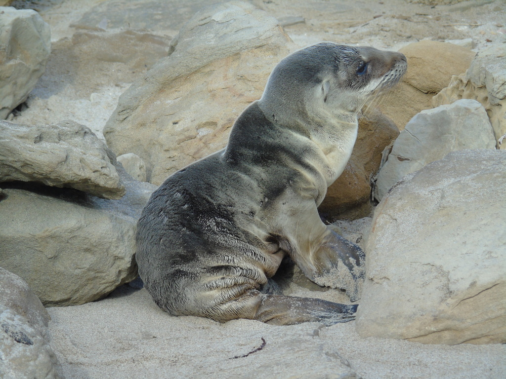 Many sea lion pups in California's Channel Islands are underweight and are washing up on beaches starving are dead. Biologists suspect unusually warm ocean conditions are reducing marine productivity, causing female sea lions to struggle to find sufficient food to nurse the pups.