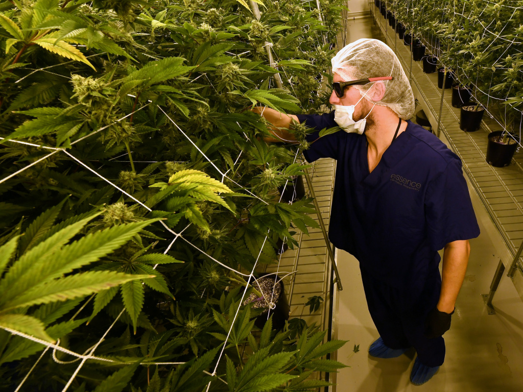 David Burr removes leaves on marijuana plants to allow more light for growth at Essence Vegas' 54,000-square-foot marijuana cultivation facility on July 6, 2017 in Las Vegas, Nevada.