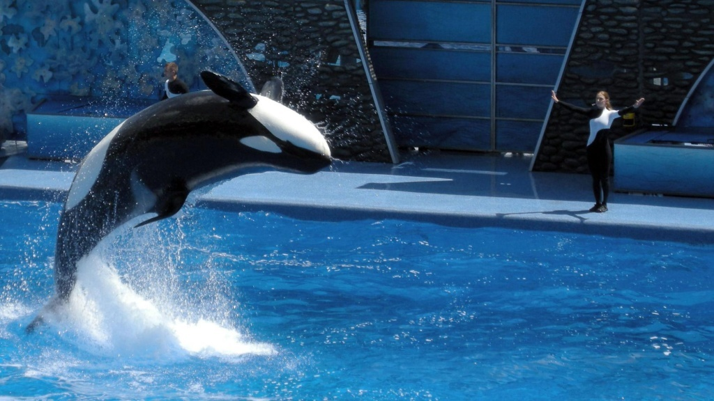 Visitors watch an orca performance at SeaWorld in Orlando, Florida.