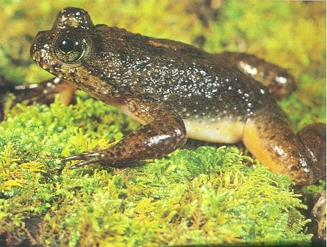 Southern Gastric-brooding Frog.