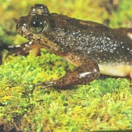Southern Gastric-brooding Frog