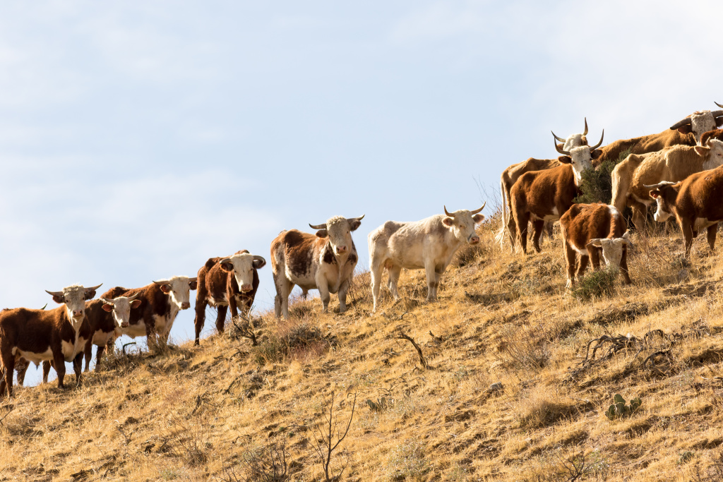 Feral bulls spotted in the Sand to Snow National Monument