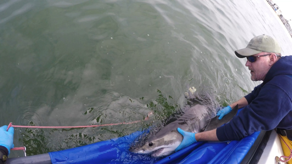 Chris Lowe, director of the Shark Lab at California State University, Long Beach, releases a juvenile white shark off Belmont Shore in spring 2017 after successfully affixing a smart tag to its dorsal fin.