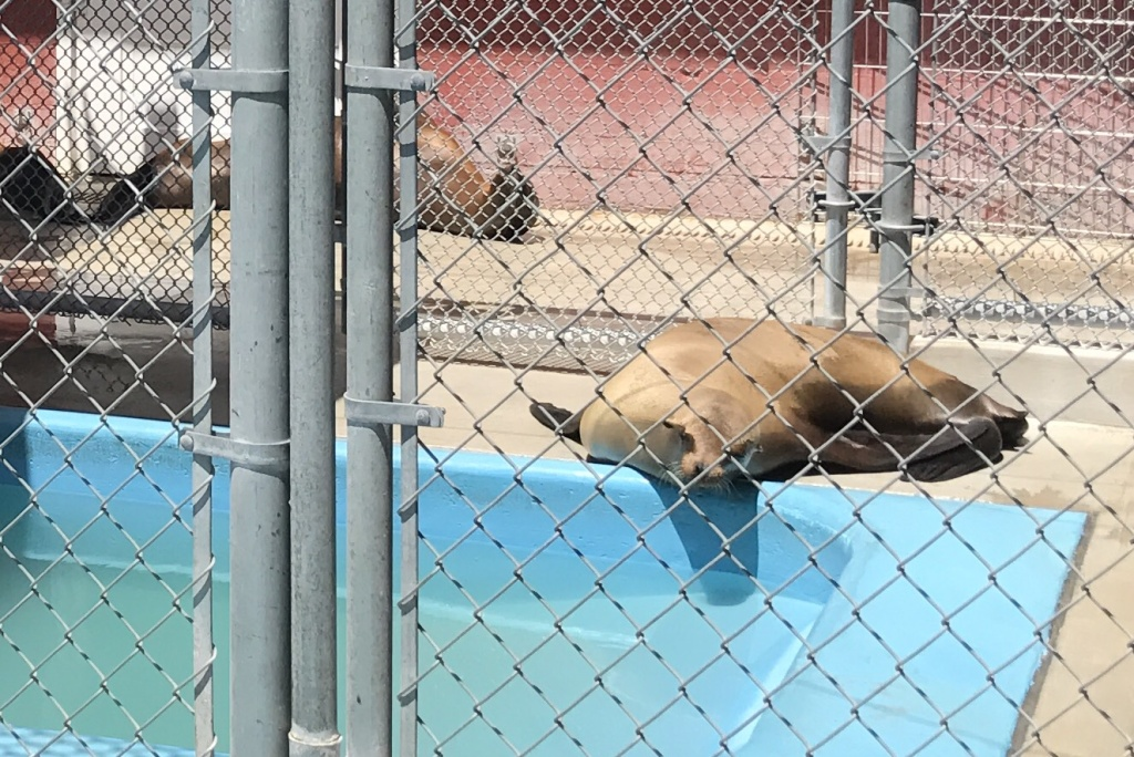 A sick sea lion recovers at the Pacific Marine Mammal Center in Laguna Beach. The rescue center took in 32 female sea lions suspected of suffering from domoic acid intoxication in April. Twenty-one of them died.